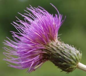 Knollen Kratzdistel Bluete pink Cirsium tuberosum 07