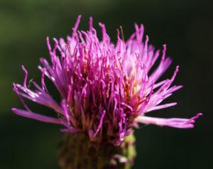 Knollen Kratzdistel Bluete pink Cirsium tuberosum 11