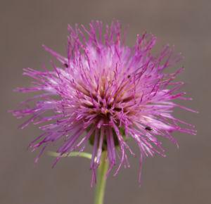 Knollen Kratzdistel Bluete pink Cirsium tuberosum 23