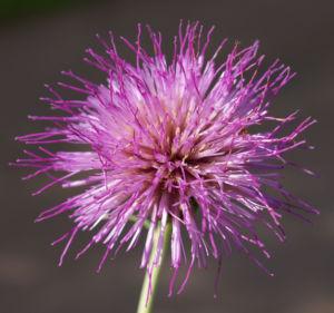 Knollen Kratzdistel Bluete pink Cirsium tuberosum 24