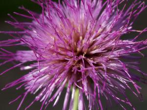 Knollen Kratzdistel Bluete pink Cirsium tuberosum 25