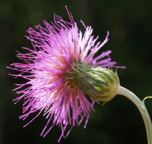 Knollen Kratzdistel Bluete pink Cirsium tuberosum 30