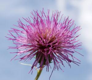 Knollen Kratzdistel Bluete pink Cirsium tuberosum 31