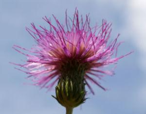 Knollen Kratzdistel Bluete pink Cirsium tuberosum 32