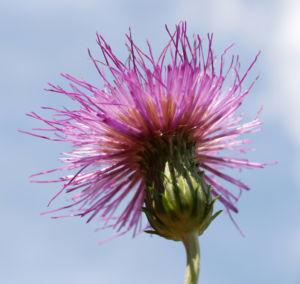 Knollen Kratzdistel Bluete pink Cirsium tuberosum 33