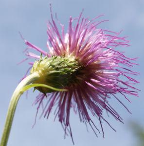 Knollen Kratzdistel Bluete pink Cirsium tuberosum 34