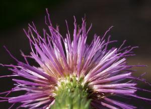 Knollen Kratzdistel Bluete pink Cirsium tuberosum 35