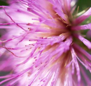 Knollen Kratzdistel Bluete pink Cirsium tuberosum 37