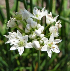 Knollen Lauch Bluete weiss Allium tuberosum 01