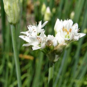 Knollen Lauch Bluete weiss Allium tuberosum 02