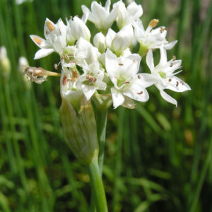 Knollen Lauch Bluete weiss Allium tuberosum 04