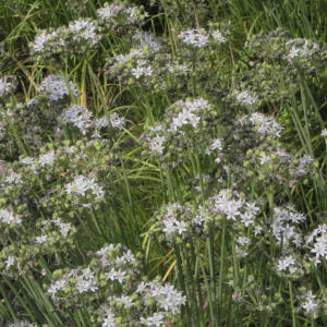 Knollen Lauch Bluete weiss Allium tuberosum 04 1