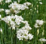 Knollen Lauch Bluete weiss Allium tuberosum 05