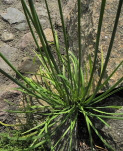 Knollen Lauch Bluete weiss Allium tuberosum 12
