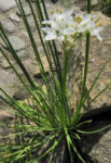 Bild:  Knoblauch-Schnittlauch Blüte weiß Allium tuberosum
