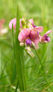 Knollen Platterbse Bluete pink Lathyrus tuberosus 01