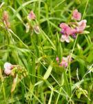 Knollen Platterbse Bluete pink Lathyrus tuberosus 02