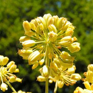 Knollen Sellerie Bluete hell gelblich Apium graveolens 02