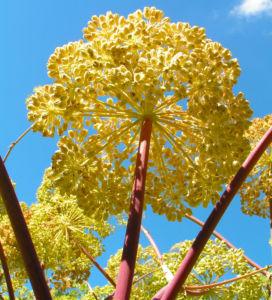 Bild: Knollen Sellerie Bluete hell gelblich Apium graveolens