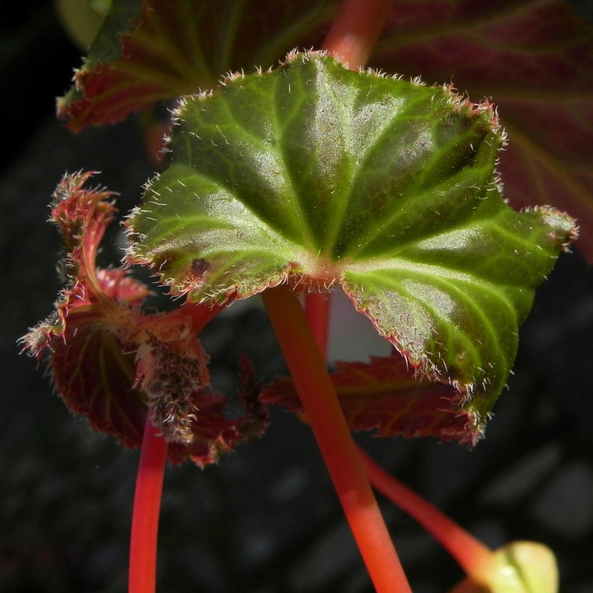Knollenbegonie Batt gruen Begonia × tuberhybrida