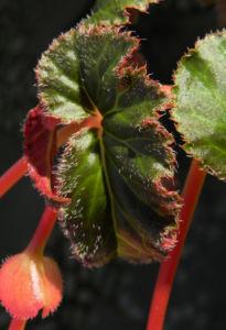 Knollenbegonie Batt gruen Begonia × tuberhybrida 05