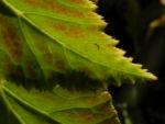 Knollenbegonie Batt gruen Begonia × tuberhybrida 09