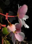 Knollenbegonie Bluete weiss pink Begonia × tuberhybrida 08