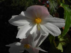 Knollenbegonie Bluete weiss pink Begonia × tuberhybrida 10