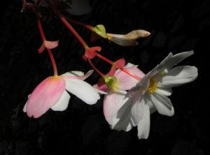 Knollenbegonie Bluete weiss pink Begonia × tuberhybrida 11
