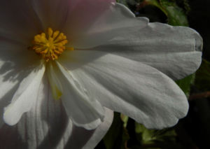 Knollenbegonie Bluete weiss pink Begonia × tuberhybrida 13