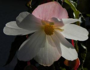 Knollenbegonie Bluete weiss pink Begonia × tuberhybrida 26
