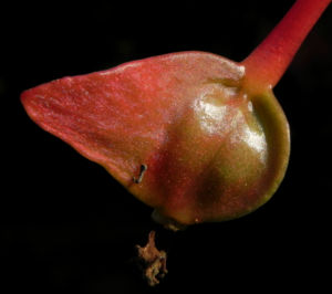 Knollenbegonie Knospe rosa Begonia × tuberhybrida 20