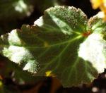 Knollenbegonien Blatt grün Begonia × tuberhybrida 01