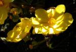 Knollenbegonien Blüte gelb Begonia × tuberhybrida 01