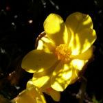 Knollenbegonien Blüte gelb Begonia × tuberhybrida 02