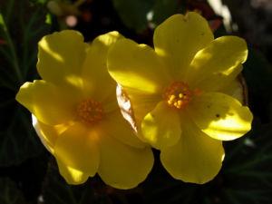 Bild: Knollenbegonien Blüte gelb Begonia × tuberhybrida