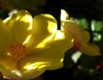 Knollenbegonien Blüte gelb Begonia × tuberhybrida 05