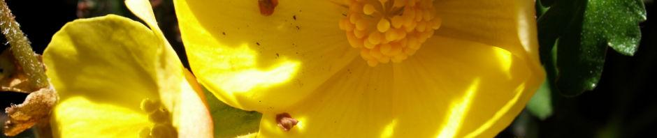 knollenbegonien-bluete-gelb-begonia-x-tuberhybrida