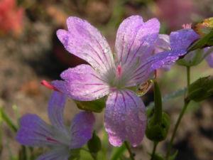 Knotiger Storchschnabel Bluete pink Geranium nodosum 06