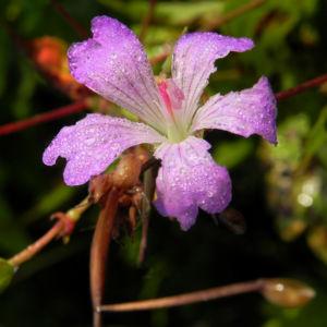 Knotiger Storchschnabel Bluete pink Geranium nodosum 07