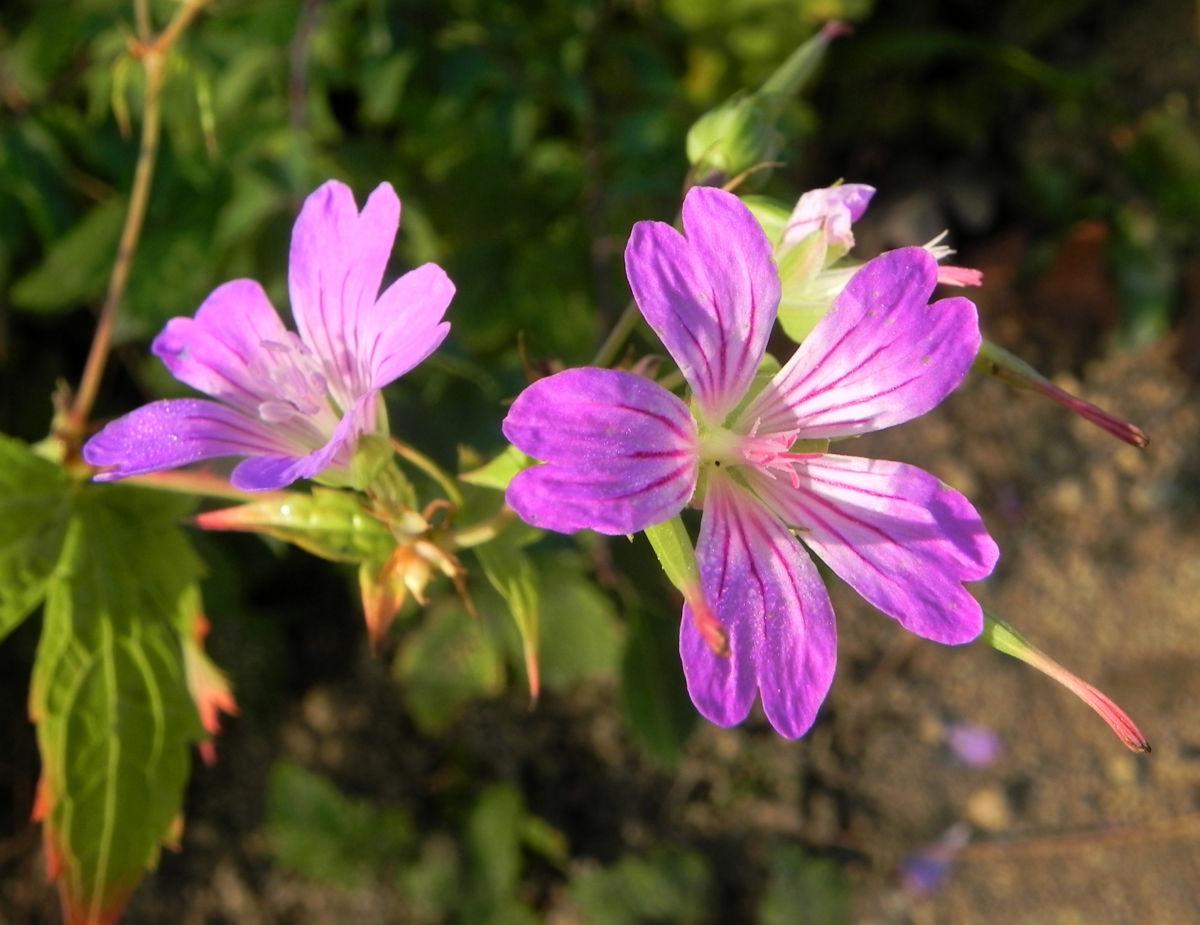 Knotiger Storchschnabel Bluete pink Geranium nodosum