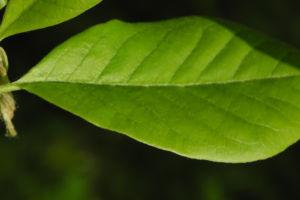 Kobus Magnolie Blatt gruen Magnolia kobus 05