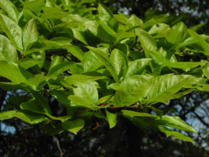 Kobus Magnolie Blatt gruen Magnolia kobus 06