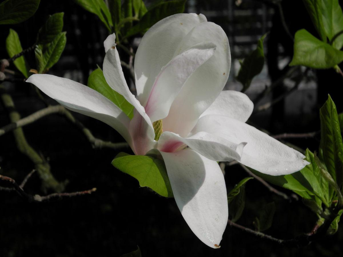 Kobus Magnolie Bluete weiss Magnolia kobus