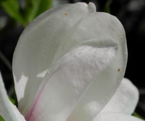 Kobus Magnolie Bluete weiss Magnolia kobus 08