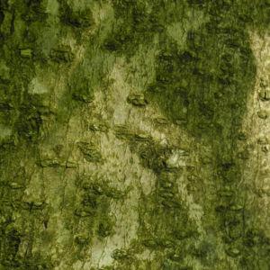 Kobus Magnolie Rinde grau Magnolia kobus 05