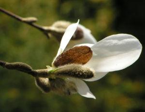 Kobushi Magnolie Baum Bluete weiss Magnolia kobus 02