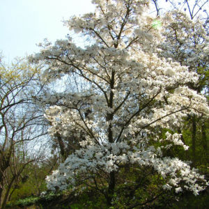 Kobushi Magnolie Baum Bluete weiss Magnolia kobus 03