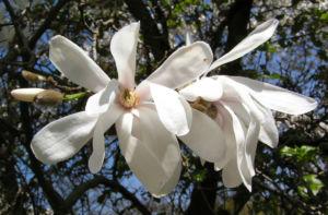 Kobushi Magnolie Baum Bluete weiss Magnolia kobus 04