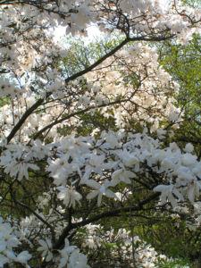 Kobushi Magnolie Baum Bluete weiss Magnolia kobus 06